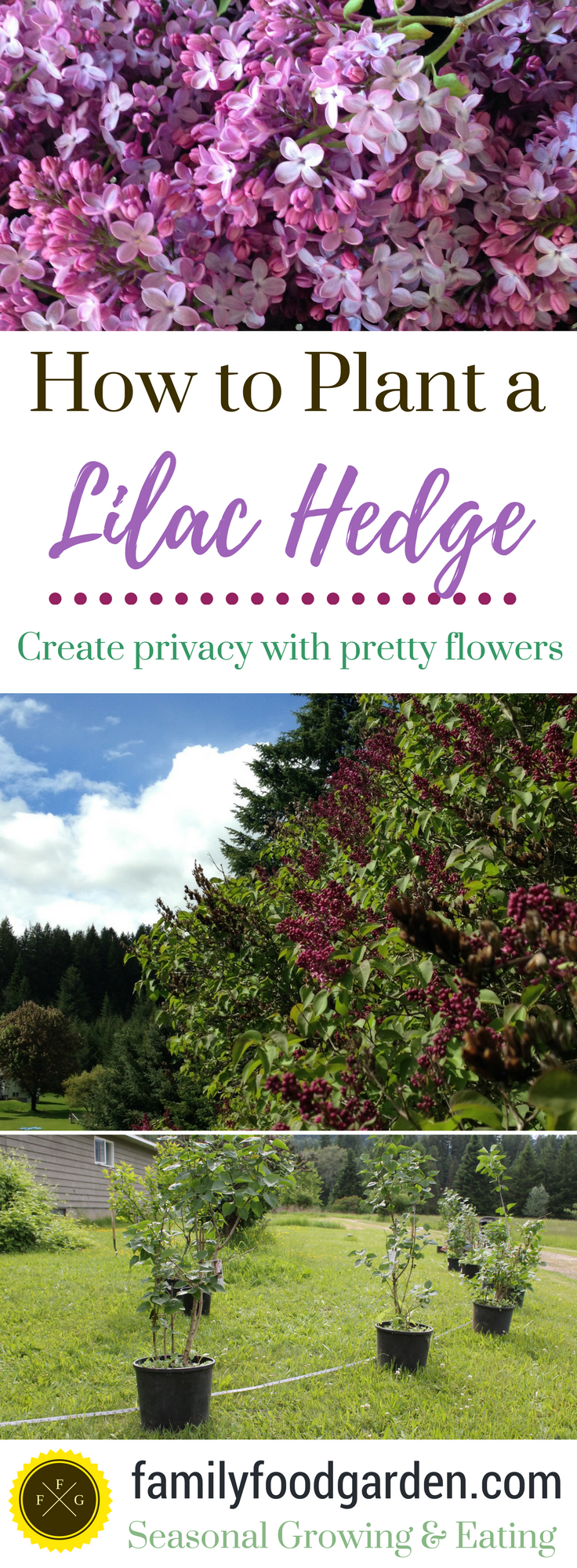 plant lilac hedge green