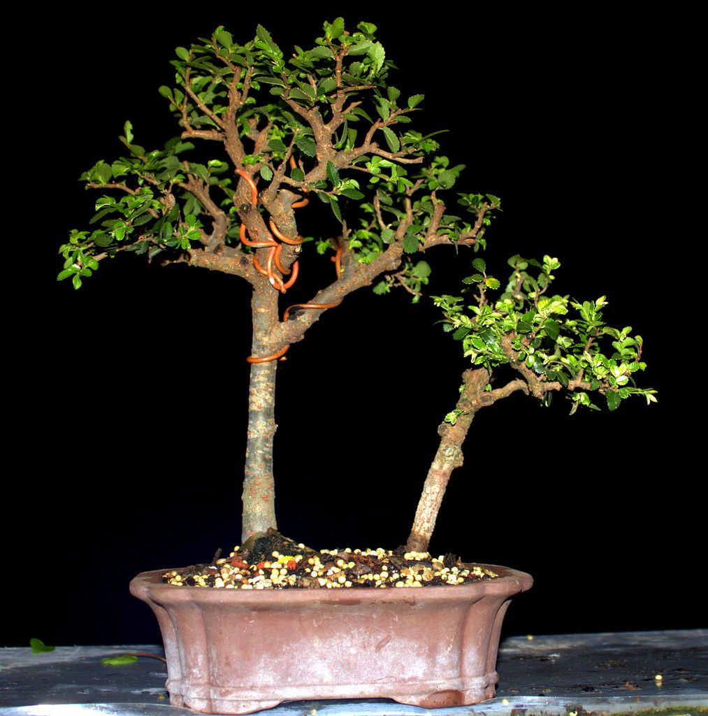 Bonsai Tree Care Learn How to Grow, Prune, and Care for