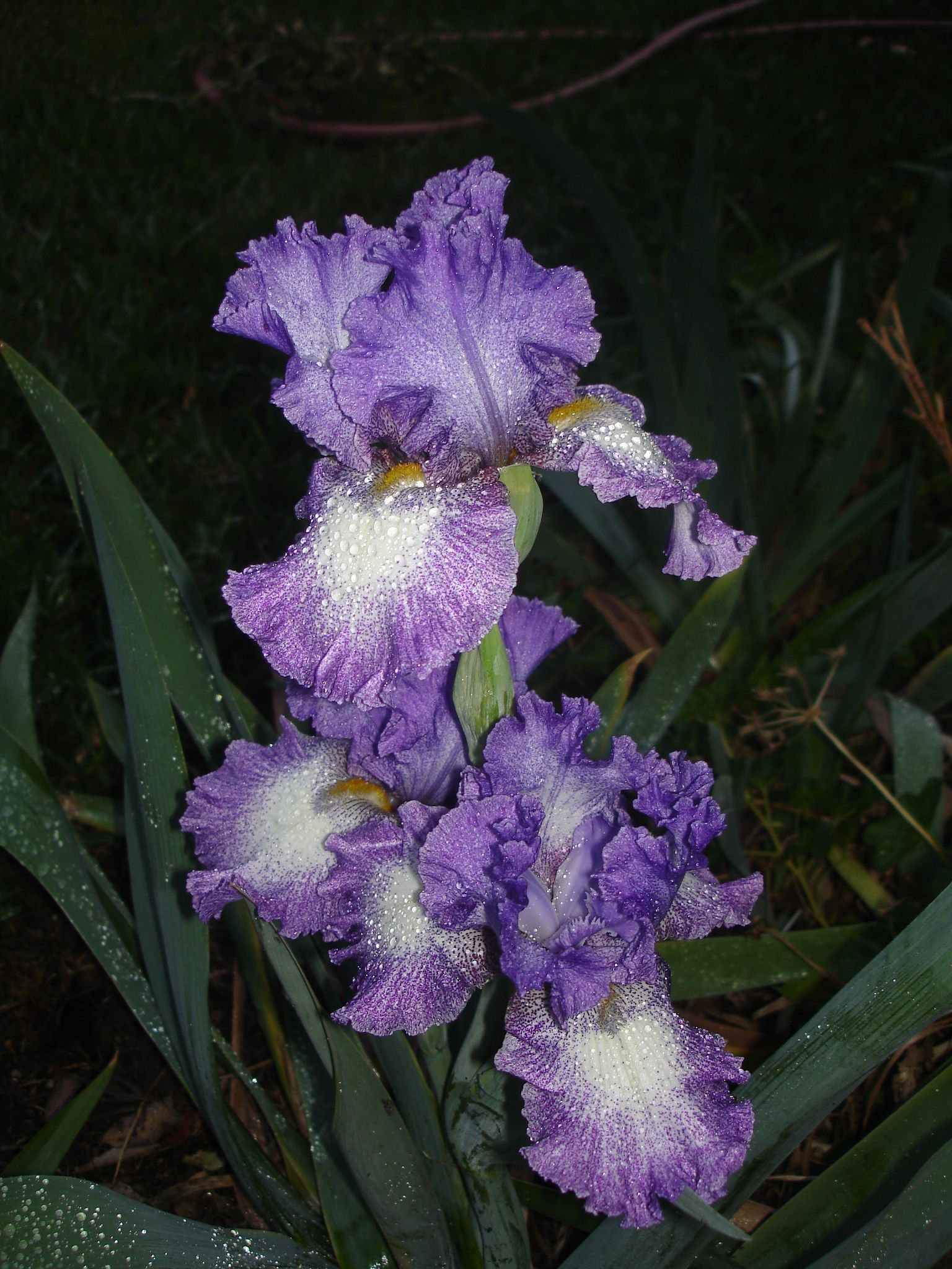 Bearded Iris Her Favorite Flower Her Favorite Color Crystal