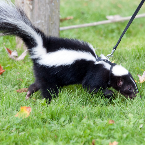 How to Get Rid of Skunk Smell in House | How to Get Rid of Stuff