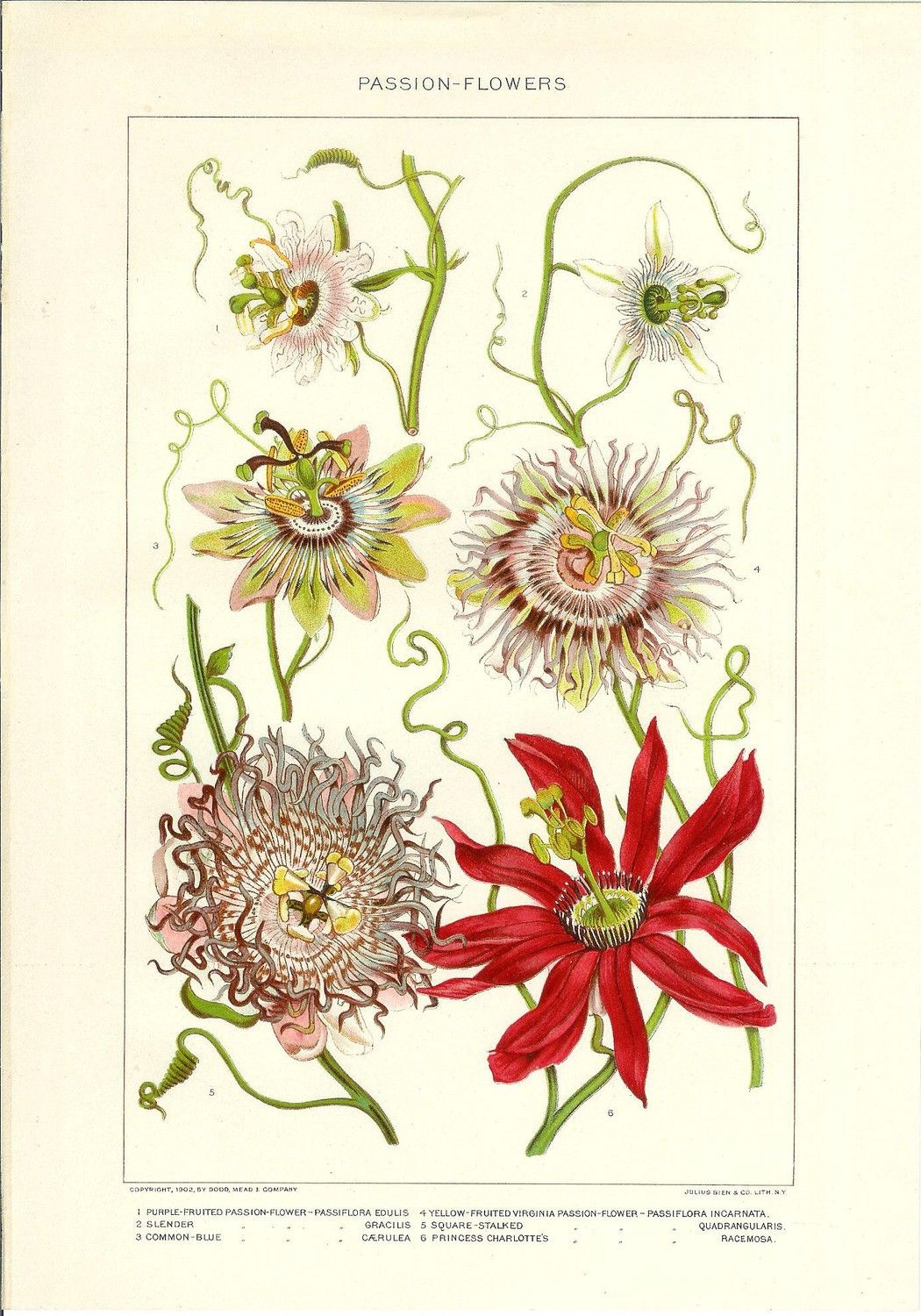 1909 Botany Print Passion Flowers Vintage Antique Art Illustration Book Plate Natural Science Great For Framing 100 Years Old Botanical Prints Botanical Illustration Botanical Painting