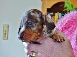 Mini Smooth Dachshund Male Puppy Chocolate Dapple Doncaster
