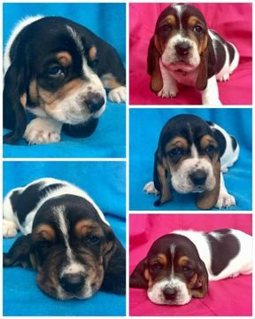 Litter Of 5 Basset Hound Puppies For Sale In Goose Creek Sc Adn