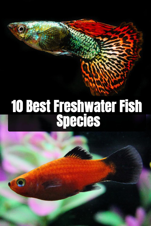10 Best Freshwater Fish Species For Aquarium Freshwater Fish Species Fish
