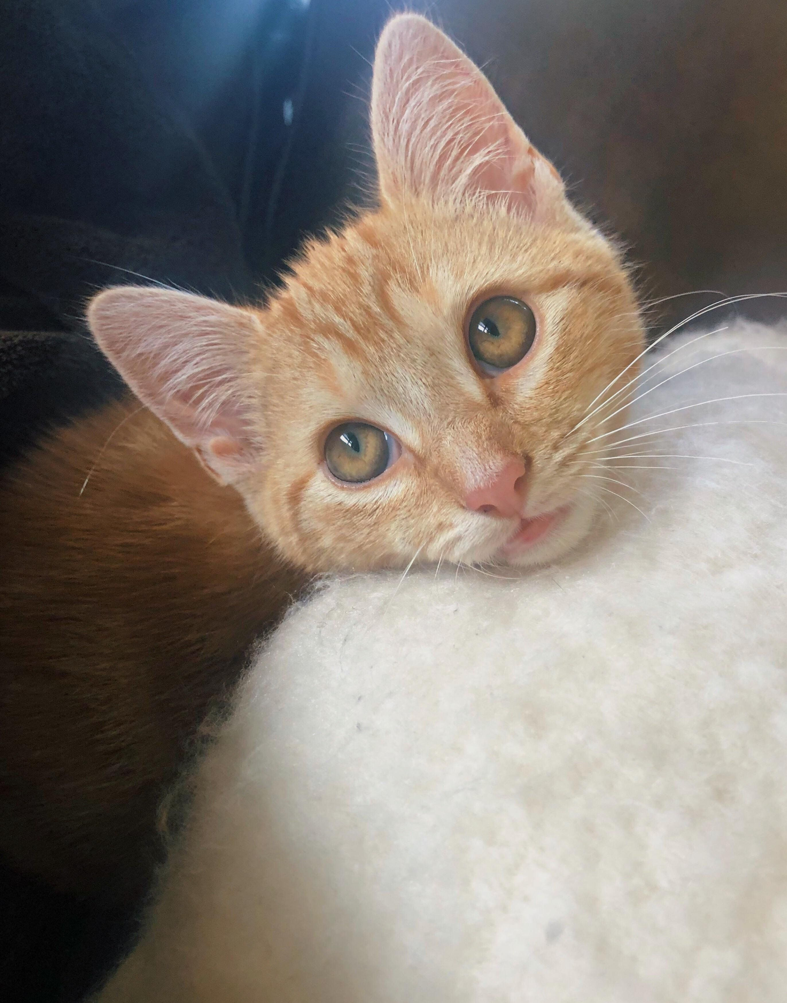 First week home after adoption blep Cute animals