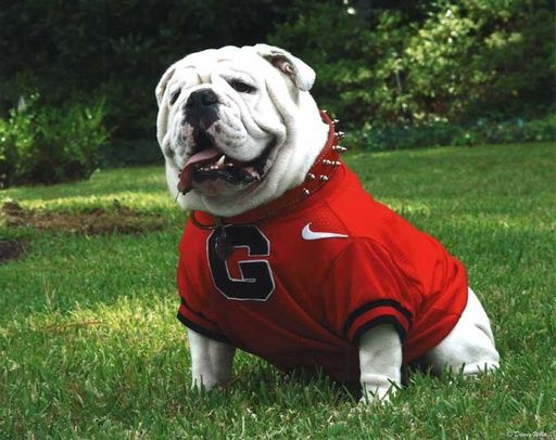 """Uga VII, """"Loran's Best"""", served as Georgia Bulldogs mascot from 2008-2009. Like his father, he was also named in honor of Loran Smith. His tenure ended abruptly near the end of his second season when he died of heart failure on November 19, 2009 at four years old. His final record: 16-7 (.696). His Sanford Stadium epitaph reads: """"Gone Too Soon""""."""