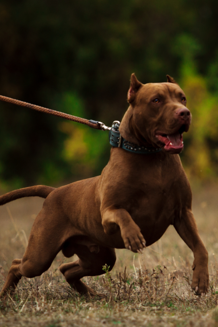 Angry Dog Pitbull In 2020 Pitbulls Angry Dog Bull