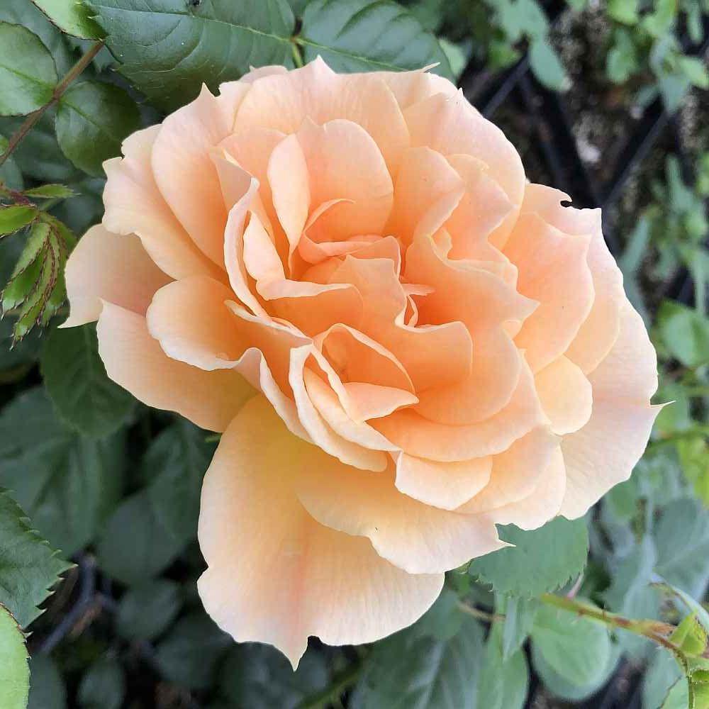 Easy Going In 2020 Floribunda Roses Shrub Roses Bloom