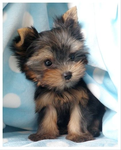 Pomeranian For Sale Florida : pomeranian, florida, Yorkie, Pomeranian, Puppies, Lovers