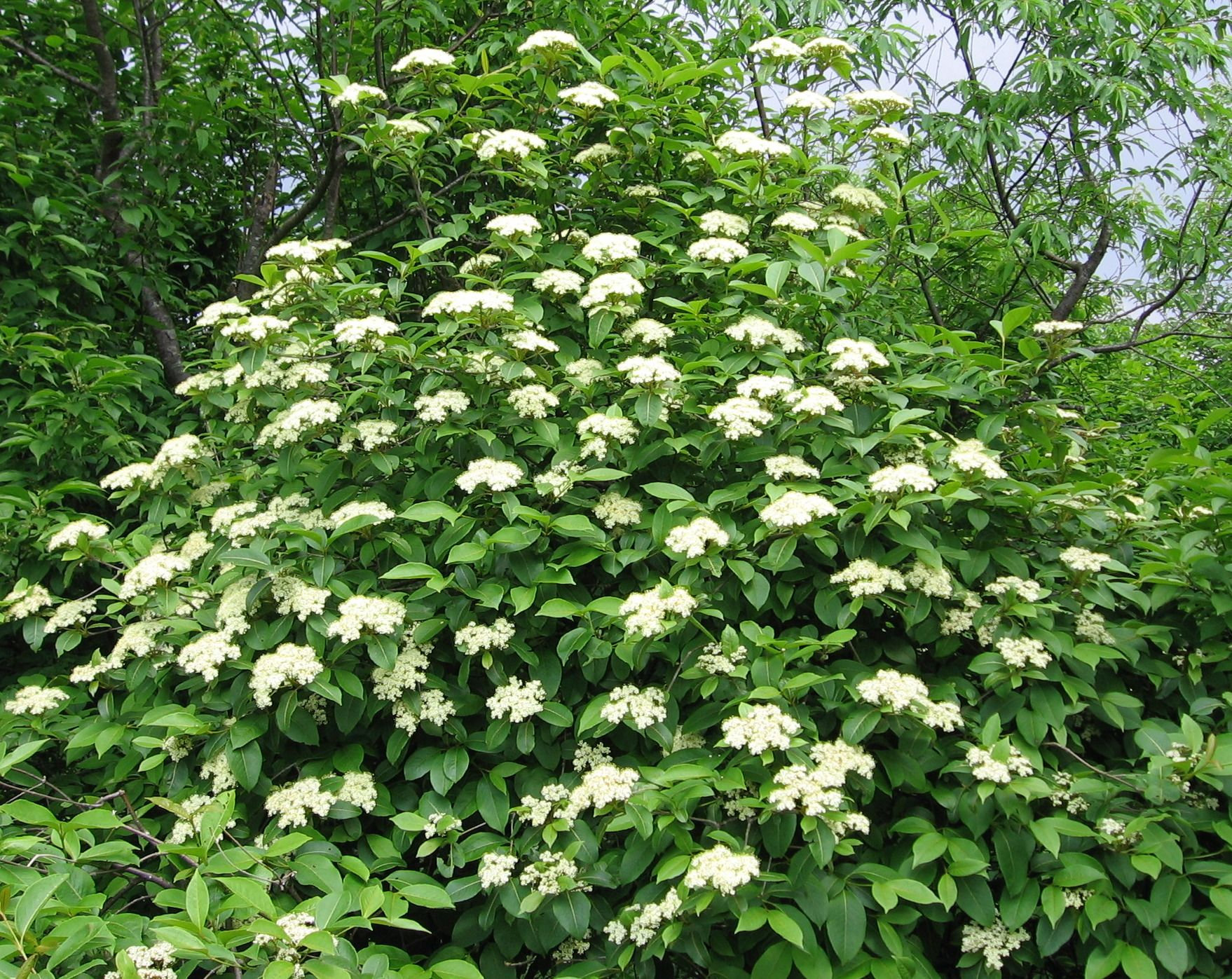 Viburnum nudum 1991 gold medal winner pa hort society for White flowering bush