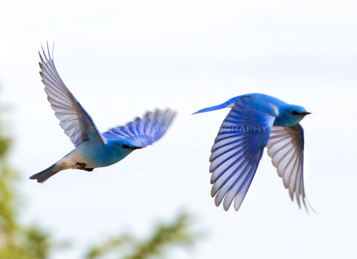 Pin By Audrey Westfall Boyd On Birds Birds Flying World Birds Blue Bird