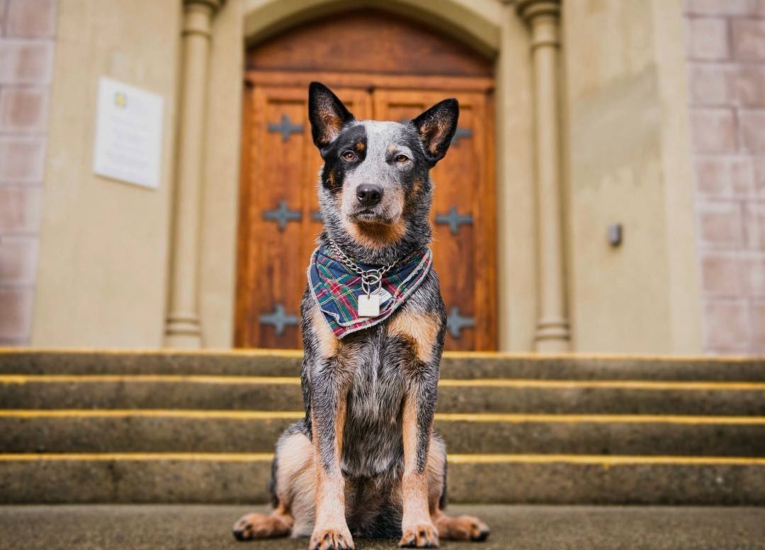 Blue Heeler Puppy Facts American Cattle Dog Dog List