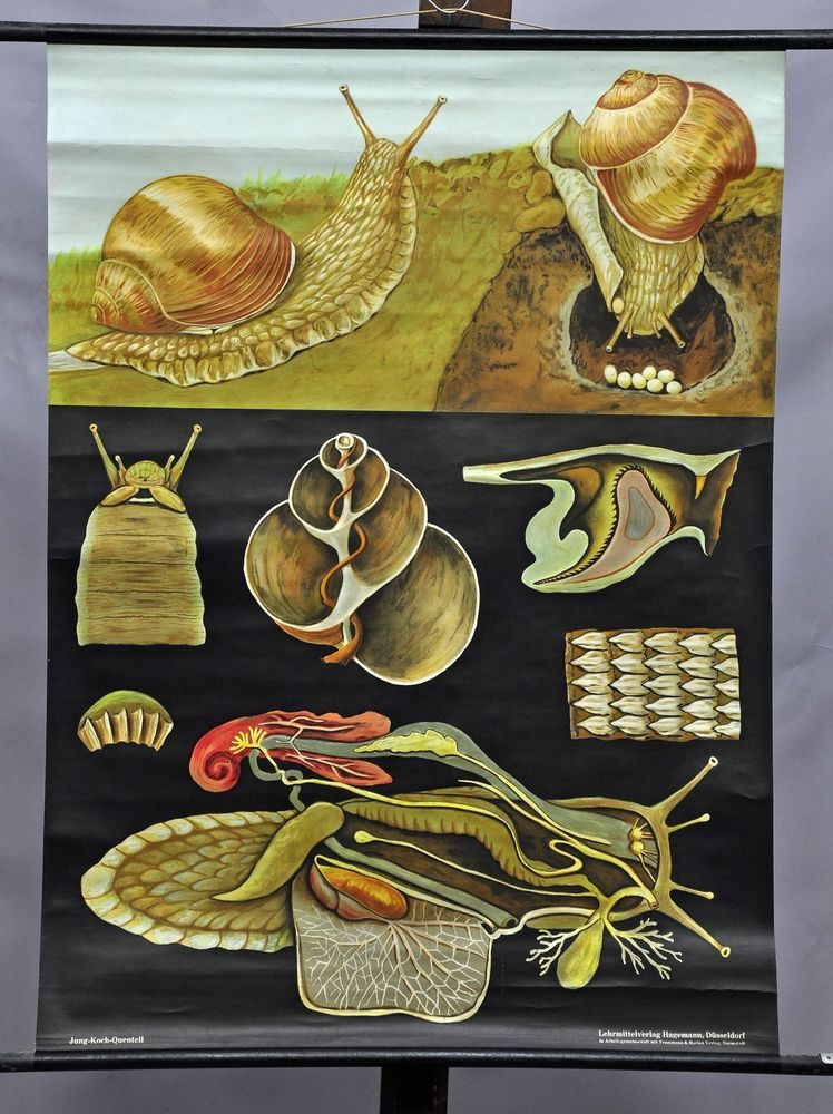 apple snail escargot Jung Koch Quentell vintage poster print wall ...