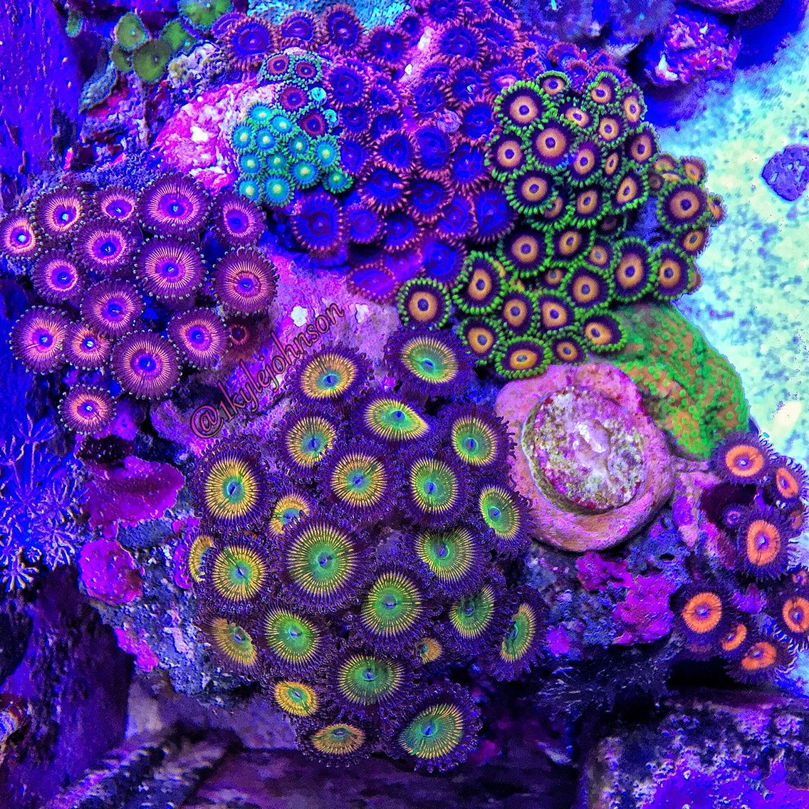 Top Down Shot Of My Zoa Garden Sunny D S Goochsters Sunflower Devils Armor Eagle Eyes Green Bay Packers And H Duncan Coral Saltwater Aquarium Clown Fish