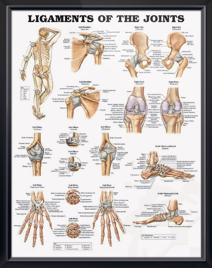 Ligaments Of The Joints Chart 20x26 Health And Fitness Pinterest