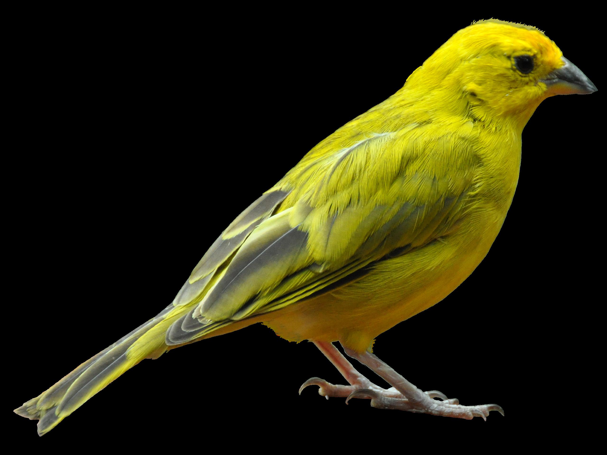 Bird Png Bird Png Png Images