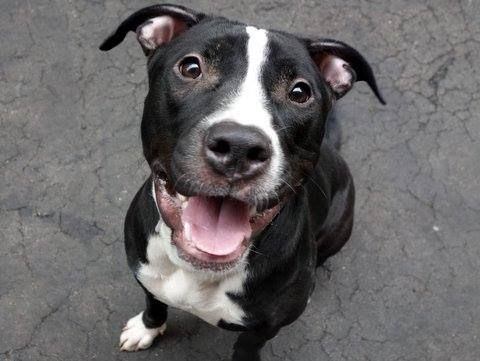 TO BE DESTROYED-03/31/2015 Manhattan Center-P My name is QUINO. My Animal ID # is A1030710. I am a female black and white pit bull mix. The shelter thinks I am about 2 YEARS.****SWEET AND PLAYFUL EBONY PUP- NOW ON KILL LIST!!! A volunteer writes: Lots of playful energy, likely house trained, & likes other dogs. Sits on command & takes treats gently. She walks well on leash & just loves people! THIS SWEET LITTLE GIRL IS LONGING FOR A FOREVER HOMR OF HER OWN!