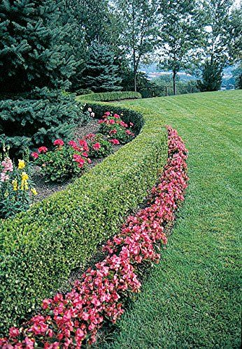Green velvet boxwood liners lot of 10 plants low for Low maintenance border shrubs