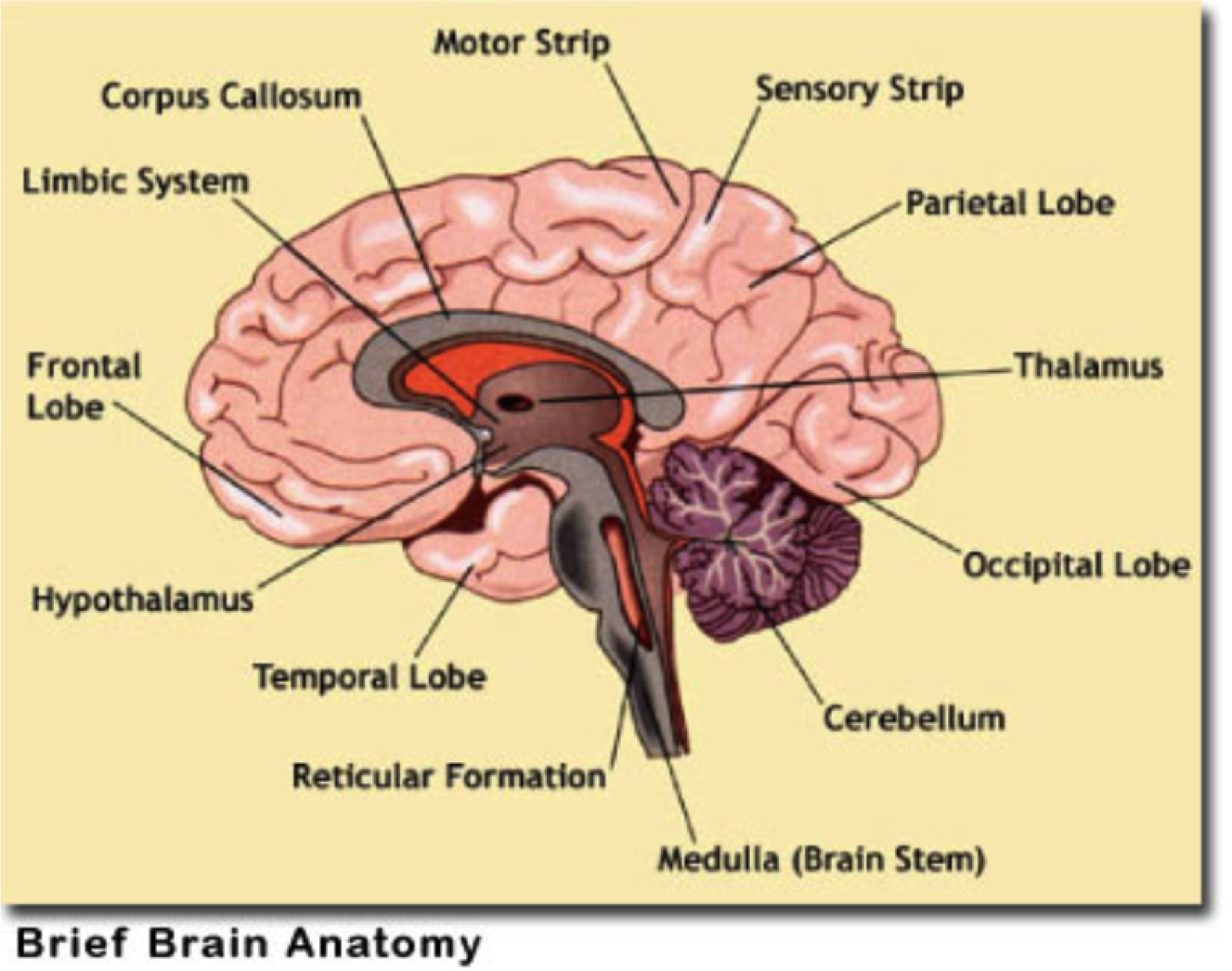 Final exam study guide doc at florida state university studyblue - Study Online Flashcards And Notes For Week Electrical Activity Of The Brain Including Reticular Formation The Area Of The Brainstem That Provides
