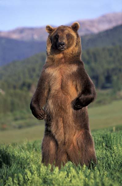 6murder6mobile6 S Image Grizzly Bear Facts Grizzly Bear Animals Wild