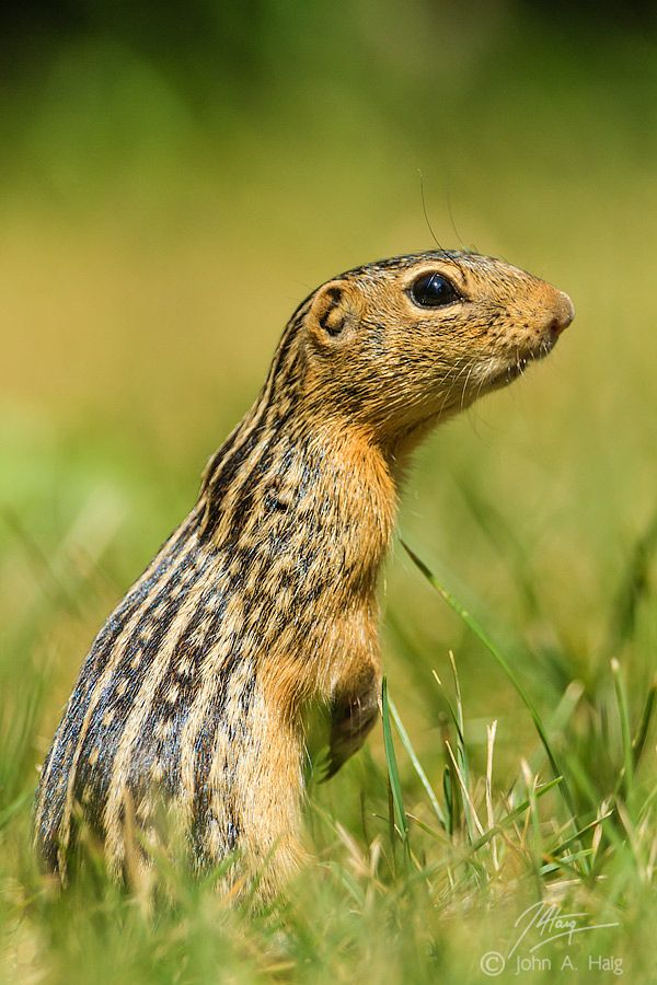 500px / Photo Lucky 13 by John Haig Thirteen Lined Ground Squirrel