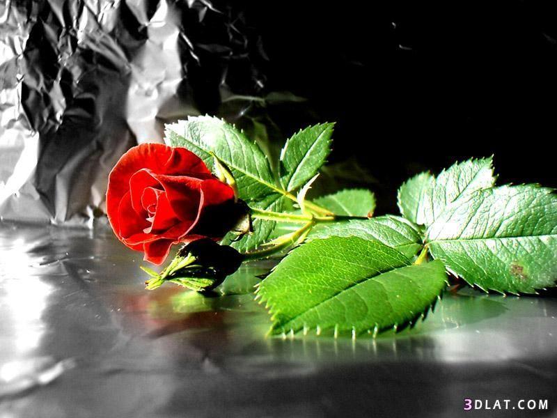صور جميلة Red Rose Pictures Rose Pictures Rose
