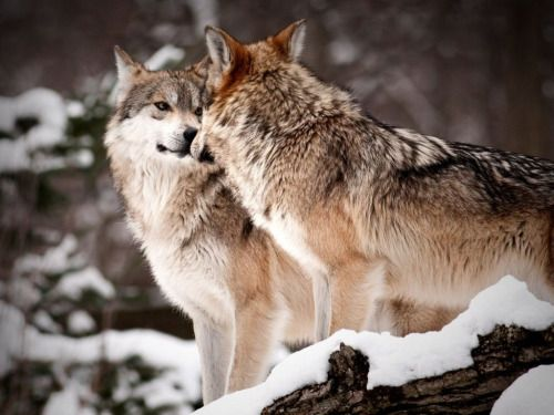 "eurasianwolfie: ""  ""All argument will vanish before one touch of nature.""…"