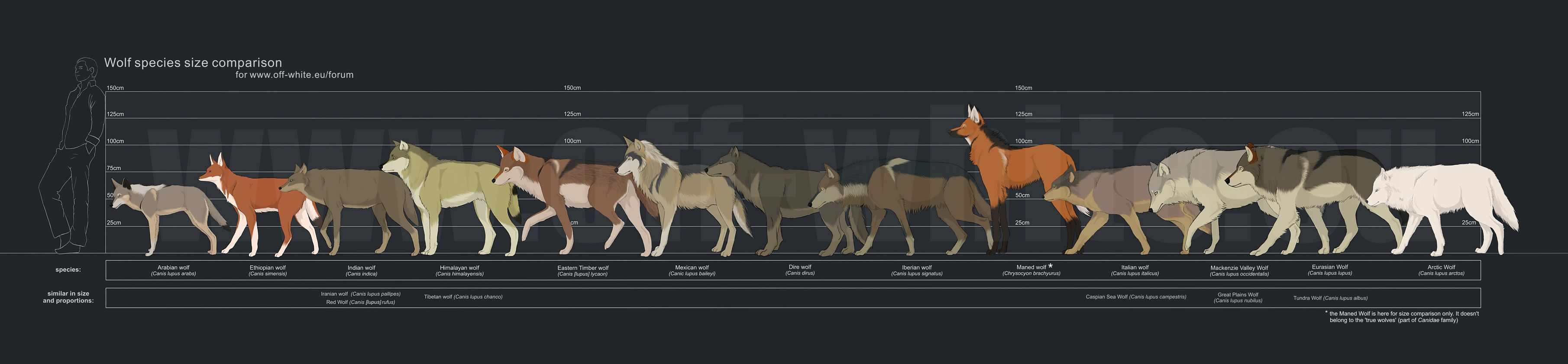 hight resolution of human size comparison to wolves