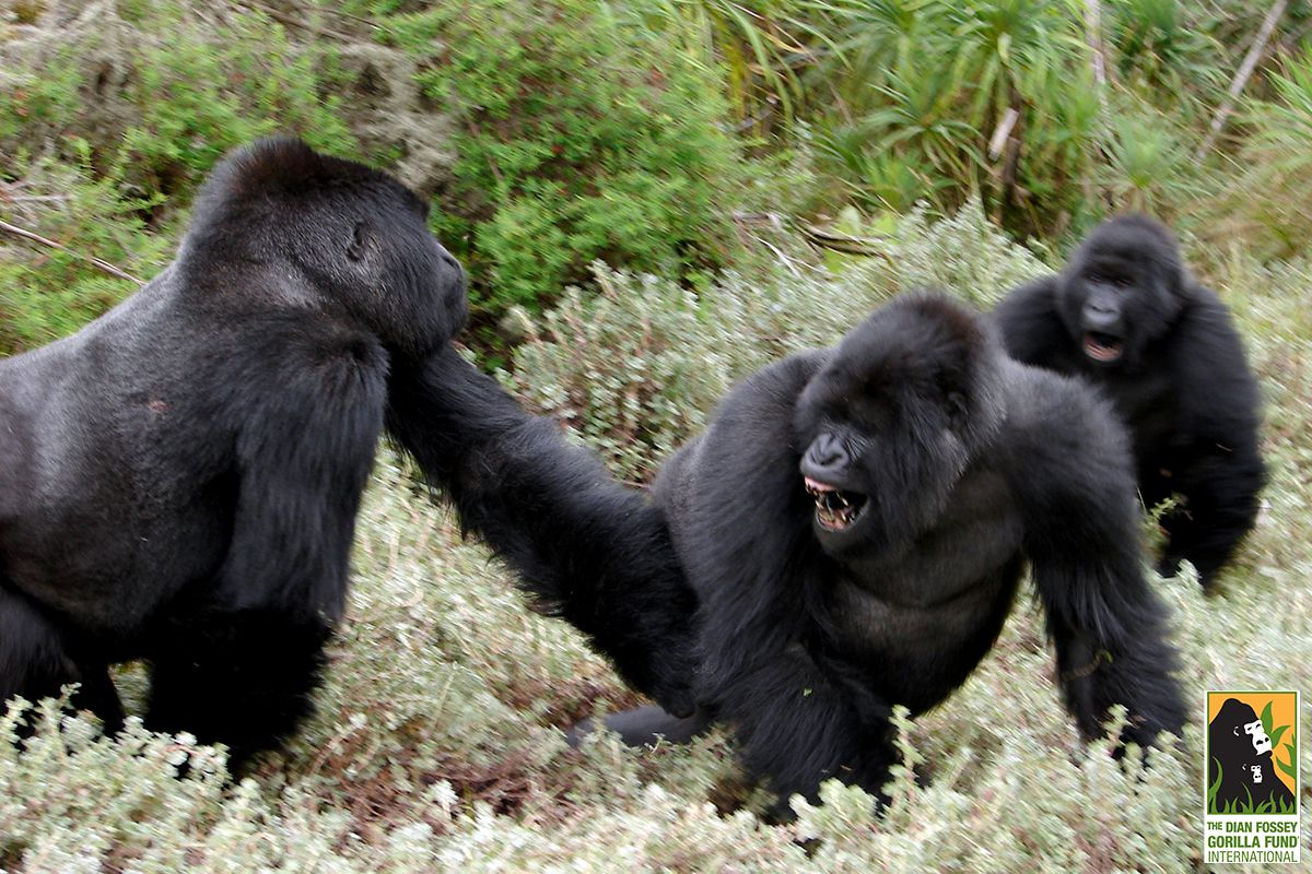 New studies on gorilla stress and fighting help us