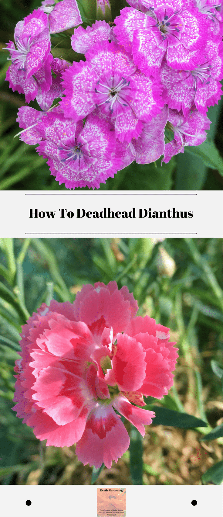Learn How To Deadhead Dianthus To Get It To Re Bloom Or Keep It Tidy Today I Am Going To Share With Dianthus Flowers Sweet William Flowers Flowers Perennials