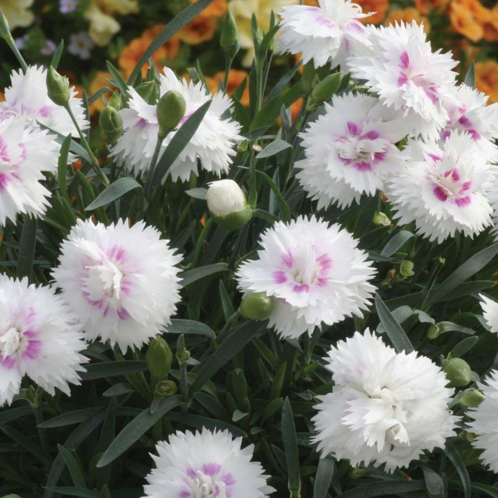 Dianthus Endless Love White Eyecarnationpink Dianthus Sweet