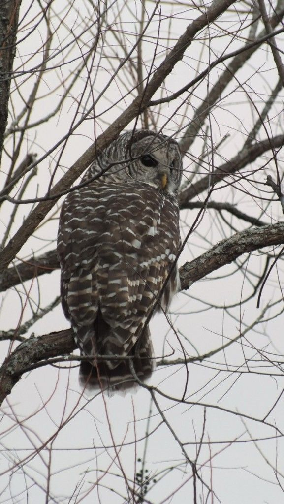 Barred Owl sighted along Duffin's Creek near Markham (With