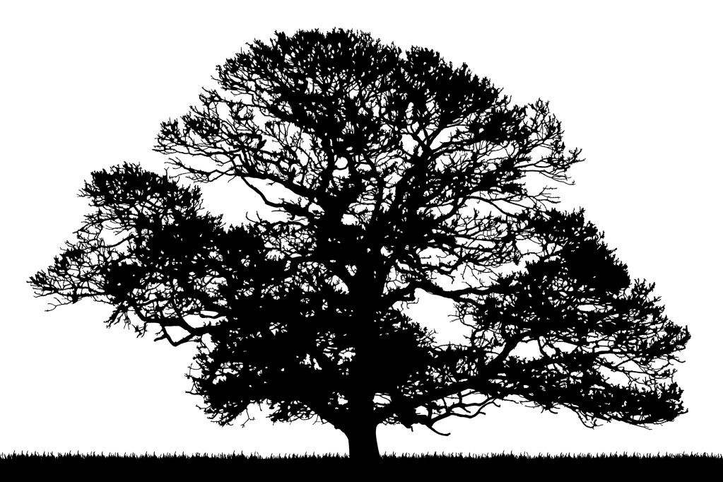1023x682 Oak Tree Silhouette Oak Tree Silhouette Tree Silhouette Photos Tree Silhouette