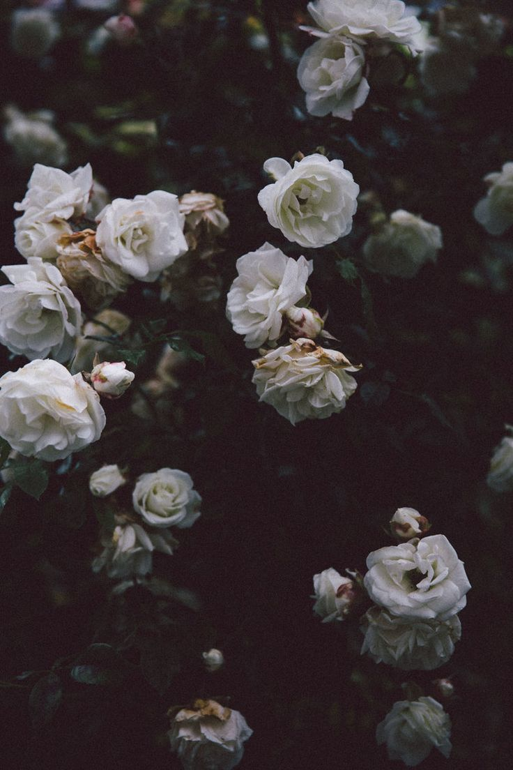 Wild roses dark background  Friederike Amendy  Wallpapers Designs Wild roses dark background  Friederike Amendy  The Effective Pictures We Offer You About wallpaper dark...