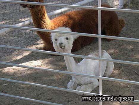 1 – Alpaca: A alpaca é um mamífero sul-americano estreitamente aparentado com a lhama.A alpaca é um animal principalmente do norte argentino, da família dos camélidos. É menor que ela e sua p…