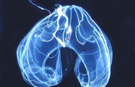 Jellyfish and Comb Jellies   Smithsonian Ocean Portal