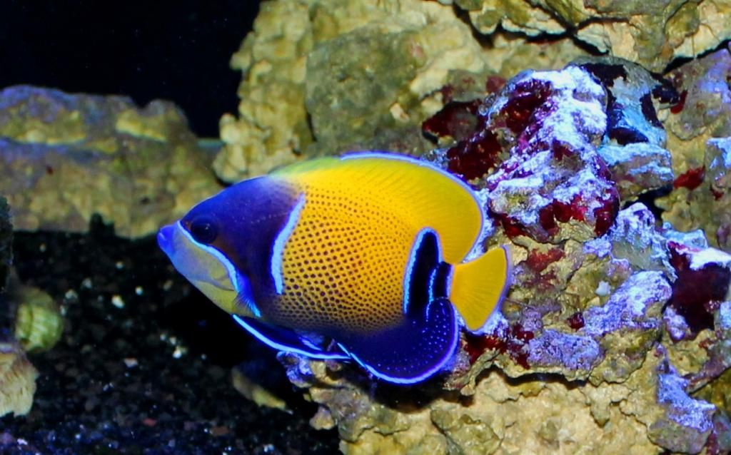 Majestic Angelfish Reef Aquarium Angel Fish Reef Aquarium Fish Pet