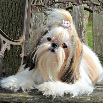 Constant Biting And Scratching Shih Tzu Hair Styles Shih Tzu Puppy