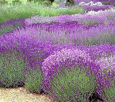 Lavender Garden   Google Søgning
