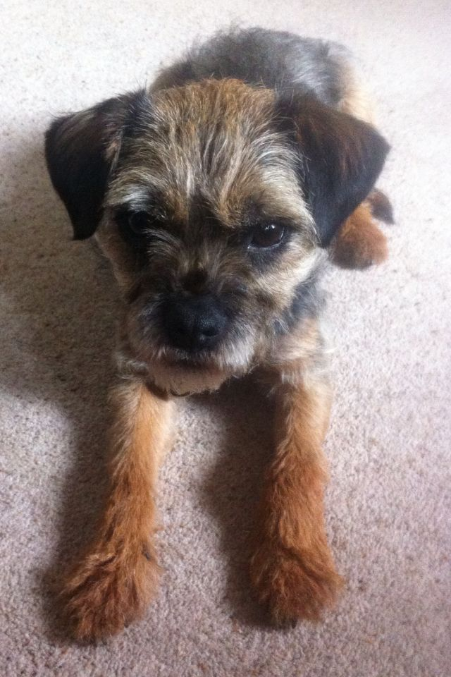 Three Year Old Border Terrier Baxter With Images Border