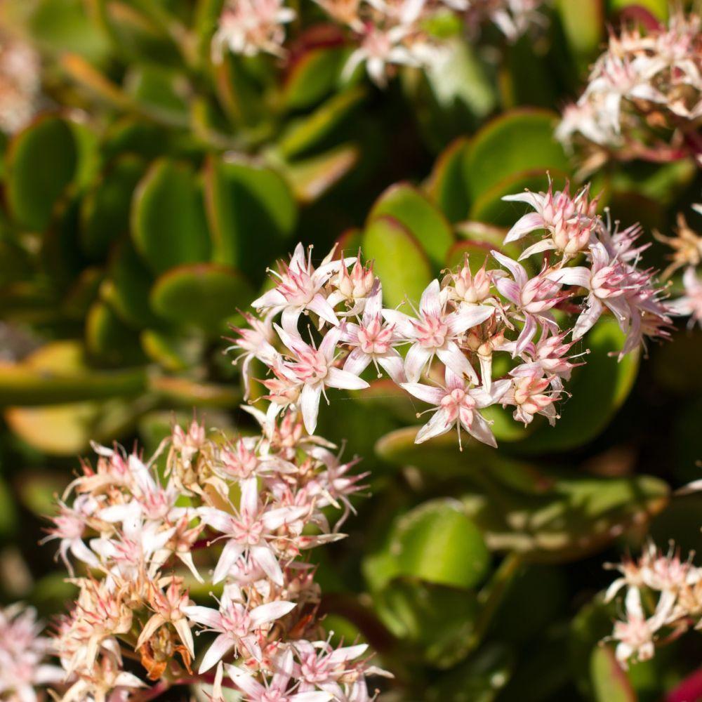 Crassula Minor Plante Grasse