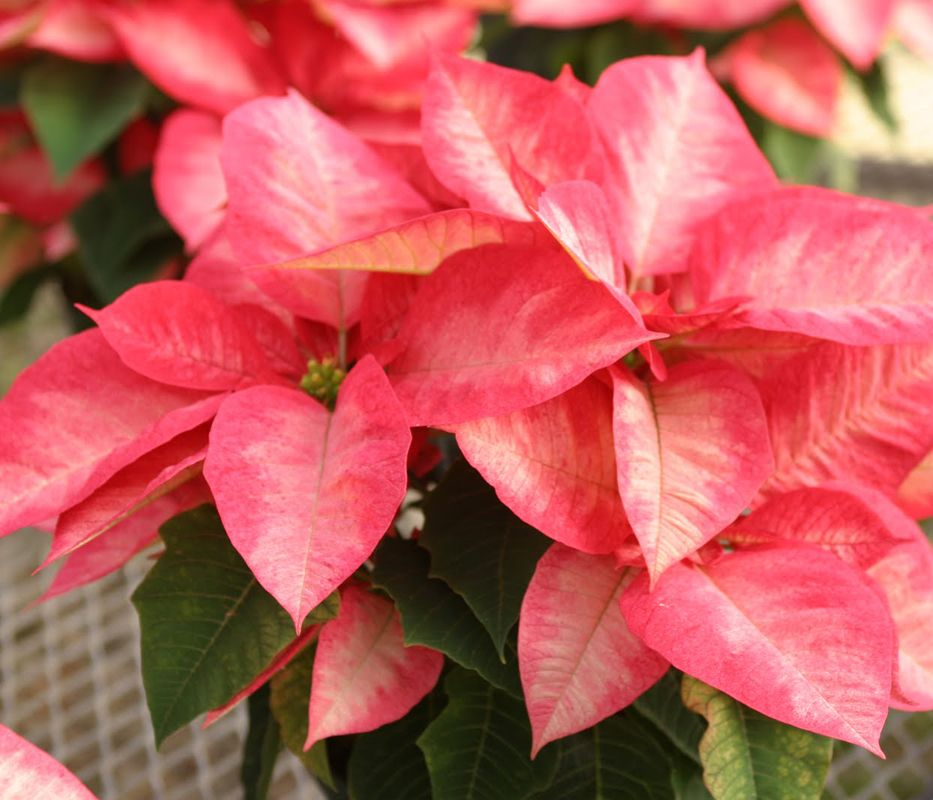 Poinsettia Season Is Here Here Are Some Care Tips From Us To Help