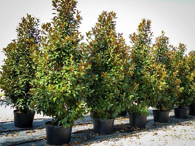 Bracken S Brown Beauty Magnolia Magnolia Trees Pinterest