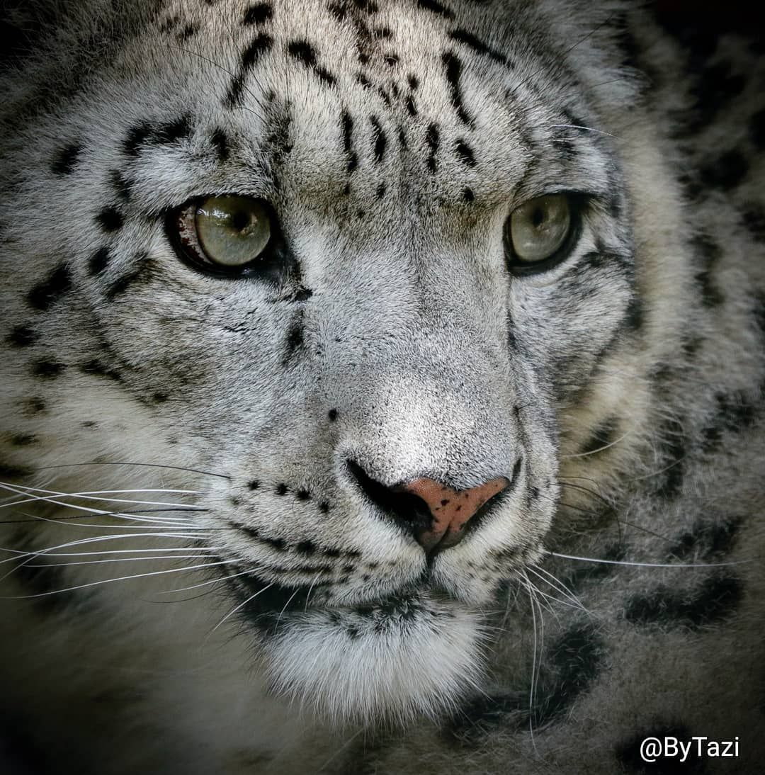 Snow leopard #bigcat #snowleopard #leopard #cat #closeup # ...