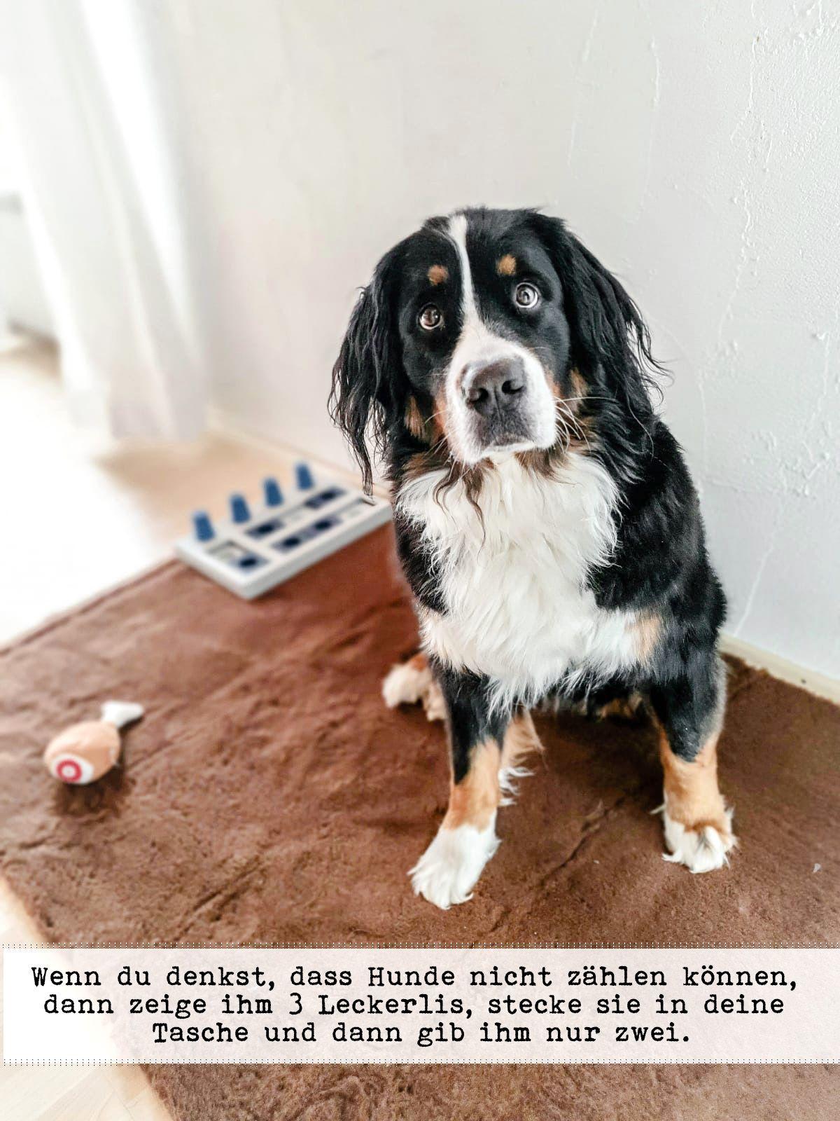 Sunny Von Bayern In 2020 Berner Sennenhund Fotografie Sennenhund