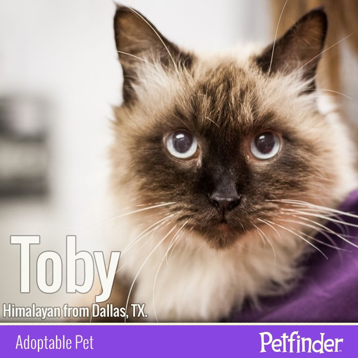 Adopt Toby On Cat Adoption Cats Pets