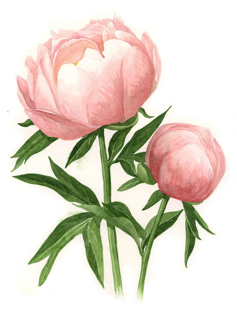 The Botanical Name For This Flower Is Paeonia Abalone Pearl And It Was My Favourite Peony From My Tri Peony Illustration Peony Drawing Botanical Watercolor