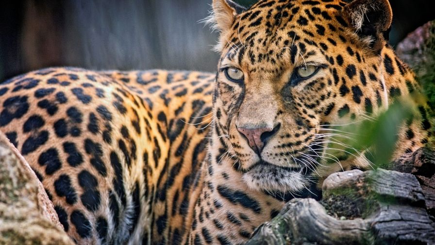 Colorful Leopard Hd Free Download Wallpapers Hd Wallpapers Co