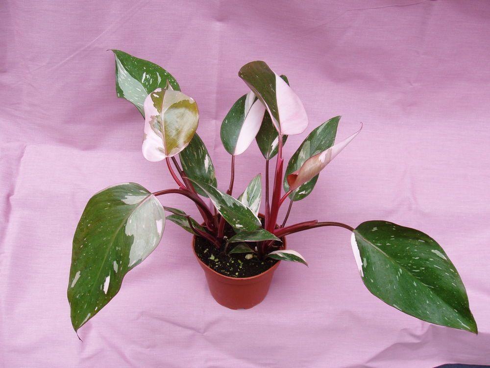 philodendron pink princess plants pinterest plants and seeds. Black Bedroom Furniture Sets. Home Design Ideas