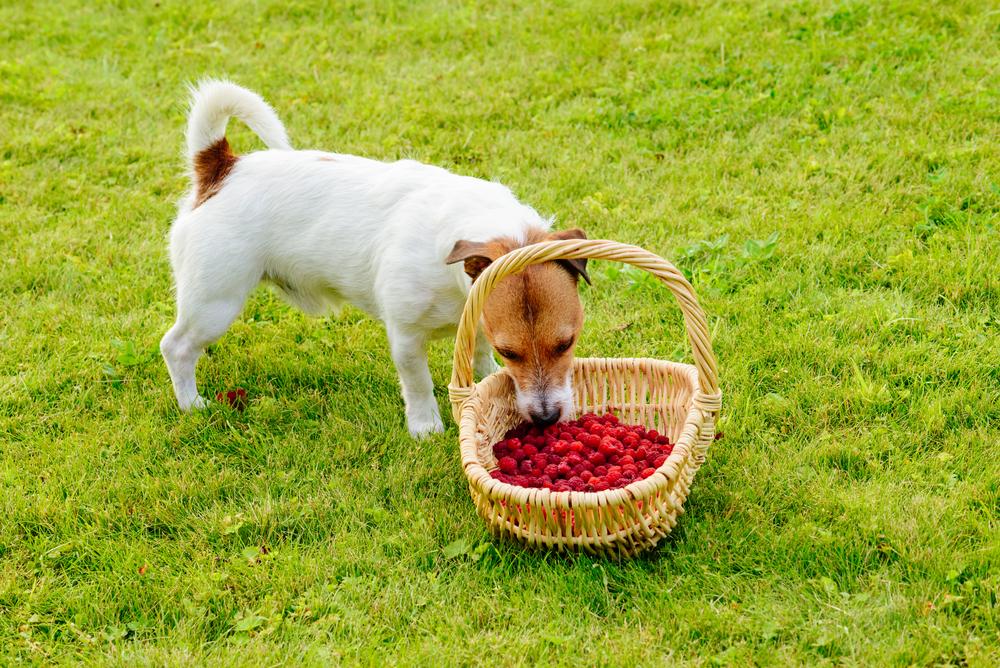 dog eating fresh raspberries basket Dog eating, Dogs